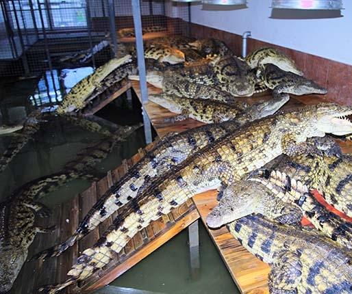 Krokodyle budzą grozę. Foka rozśmiesza