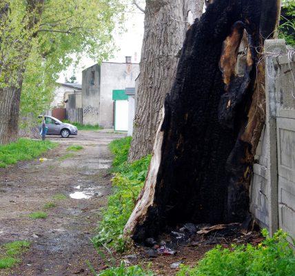spalone drzewo