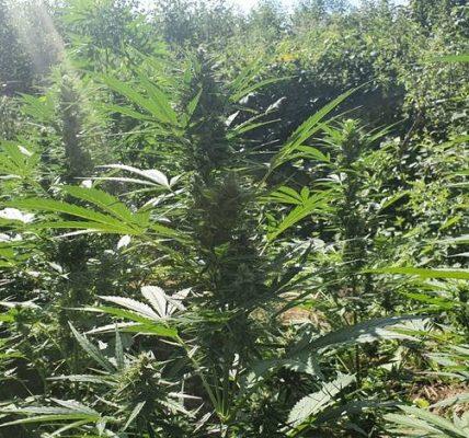 gigantyczna plantacja marihuany
