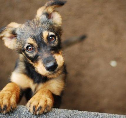 pies na covid