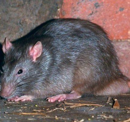 szczury wchodzą do bloku