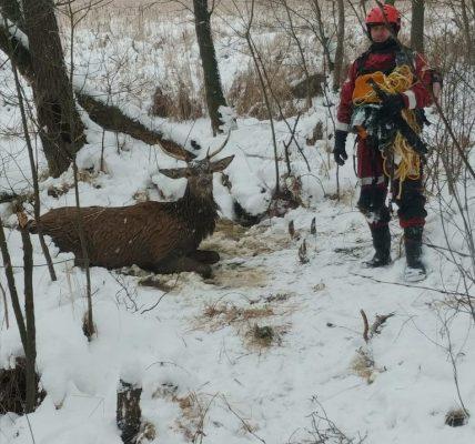 jeleń wpadł do stawu