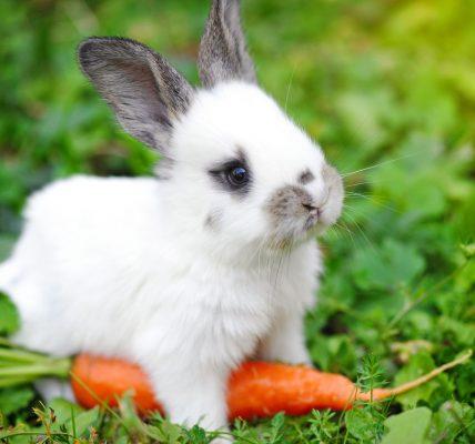 mini królik