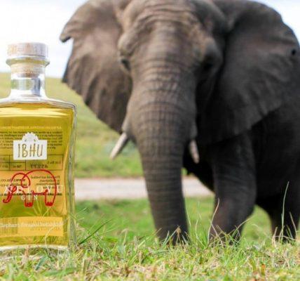 gin z odchodów słoni