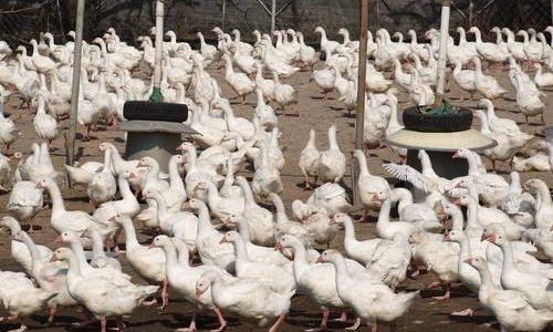 zagazowano kaczki