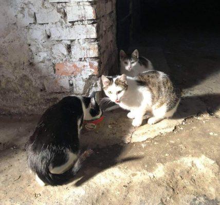 koty łęczyca