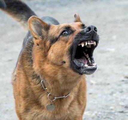 agresywny pies pogryzł