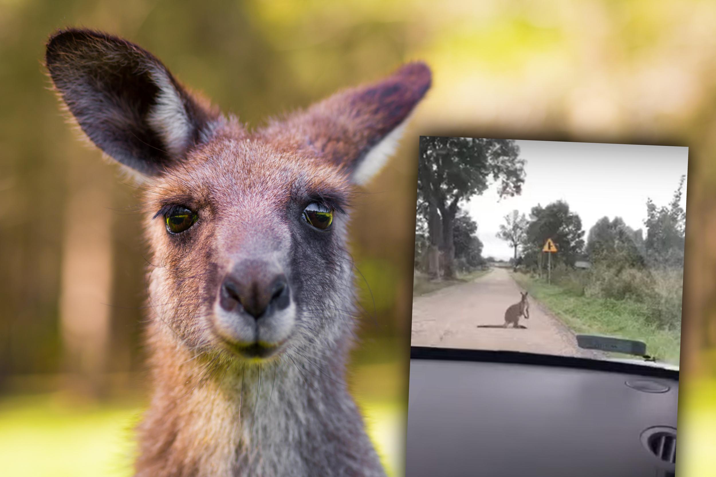 kangur mazury