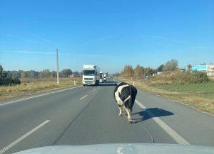 krowa na drodze
