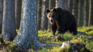 niedźwiedź atak